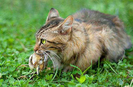 חתול עם טרף. סיבת המוות מספר אחת של יונקים וציפורים, יותר מכלי רכב, הדברה, הישאבות למנועי מטוסים או התנגשויות בבניינים