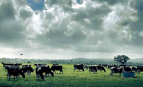 פרות רועות באחו (ארכיון).   26% מהאדמות נטולות הקרחונים משמשות למרעה בקר