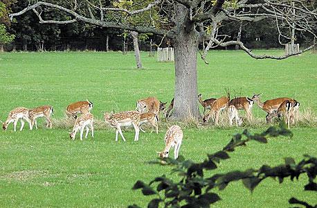 אוקספורד. פארק הצבאים במגדלן קולג', צילום: פליקר (simononly)