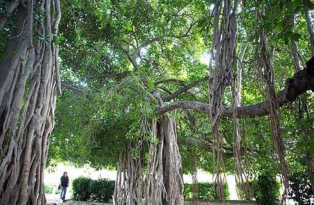 הפיקוס הבנגלי הענק, צילום: תומי הרפז