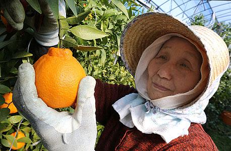 קטיף הדרים באי גוגו. דרושה רפורמה במגזר החקלאי