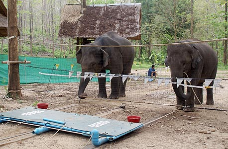 פילים ושוויון בנטל. בניסוי שדה ואל ערך ב־2009 פילים נדרשו לשתף פעולה כדי לזכות בפירות. אחד הפילים מצא דרך לרמות: הוא דימה את תנועות העבודה, אבל נתן לרעו לעבוד לבד, ולבסוף אכל בחינם