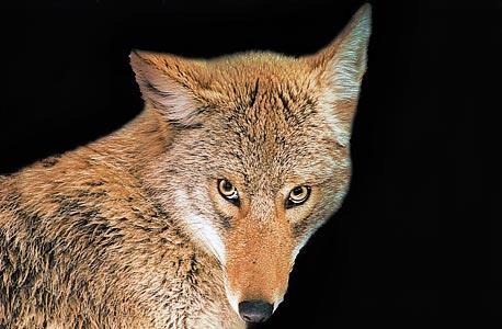 """בושה של זאב. תצפיותיו של בקאוף גילו שזאבי ערבות שנתפסים אוכלים בלי שעזרו לצוד מפגינים שפת גוף זהה לזו של כלב מבוית ש""""מתנצל"""". בקאוף: """"כך נראית הבחנה בין טוב ורע"""""""