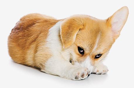 כלב מבוית
