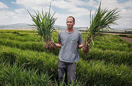 מורן שלף, אחראי על גידולי האורז בקיימא