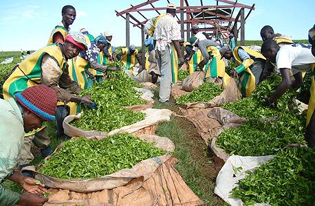 קטיף עלי תה בקניה, צילום: בלומברג