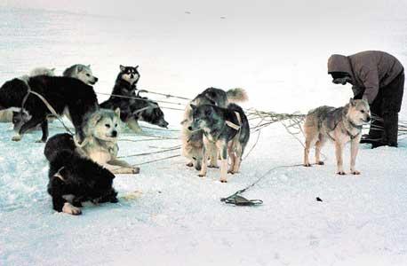 אינואיט רותם כלב למזחלת באי איגלוליק. במשך אלפי שנים נודעו ציידי האי ביכולות הניווט המרשימות שלהם, אך מרגע שהחלו להסתמך על מכשירי GPS נרשמה עלייה בתאונות קשות בחורף המקפיא