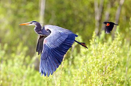 אנפה? יופי של ציפור, צילום:  Tulus Simatupang ,the nature Conservancy