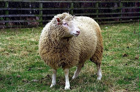 הכבשה דולי. פריצת דרך בחקר מחלות תורשתיות