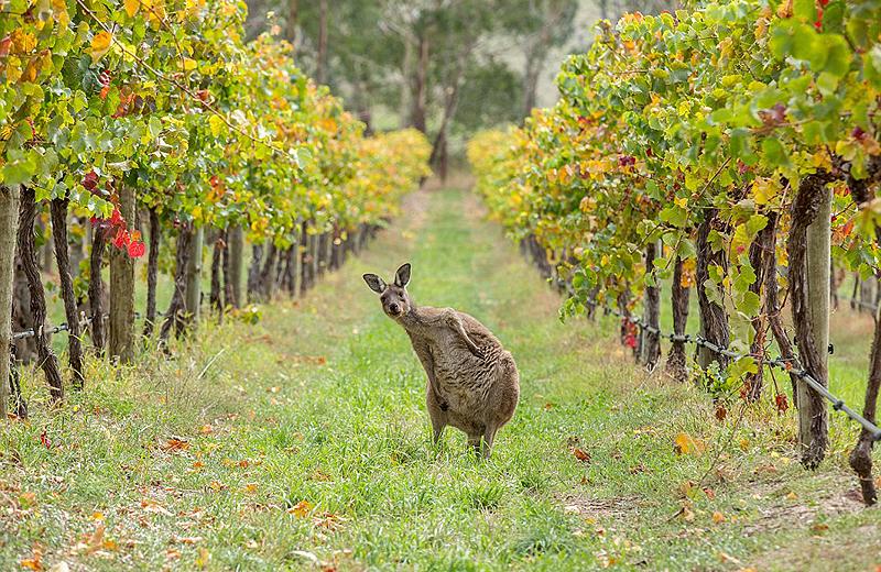 קנגורו נלכד בעדשת המצלמה כשהוא מתבטל ביקבים באדלייד הילס שבדרום אוסטרליה, צילום: National Geographic/Gerg Snell