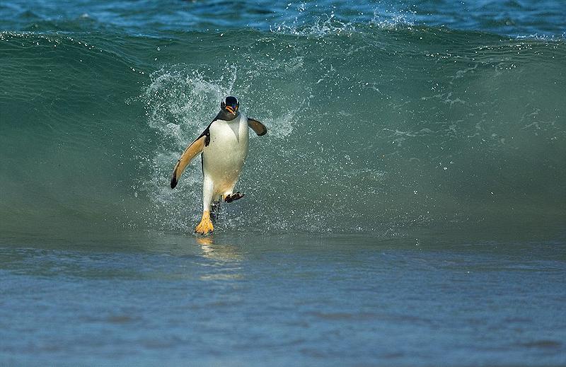 פינגווין לבן אוזן (Gentoo) שחוזר לחופי פוקלנד כשהבטן שלו מאלה בקריל להאכלת הפינגווינים הצעירים, צילום: National Geographic/Shanu Subra
