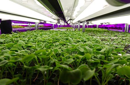 חוות הירקות של פנסוניק בסינגפור. 3.6 טונה בשנה של חסה, עליי בייבי, תרד וצנון