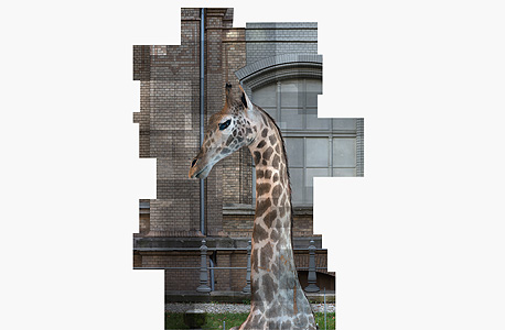 """פוחלץ ג'ירף העומד במוזיאון פרטי בברלין. """"צילמתי אותו ב־87 חלקים קטנים במשך שעתיים. כשפניתי למנהלי האוסף הם חשבו שאני פועלת בחסות ארגונים למען בעלי חיים ואסרו על פרסום הצילום. הם השתכנעו בכנות כוונותיי רק אחרי התכתבות של ארבעה חודשים"""""""