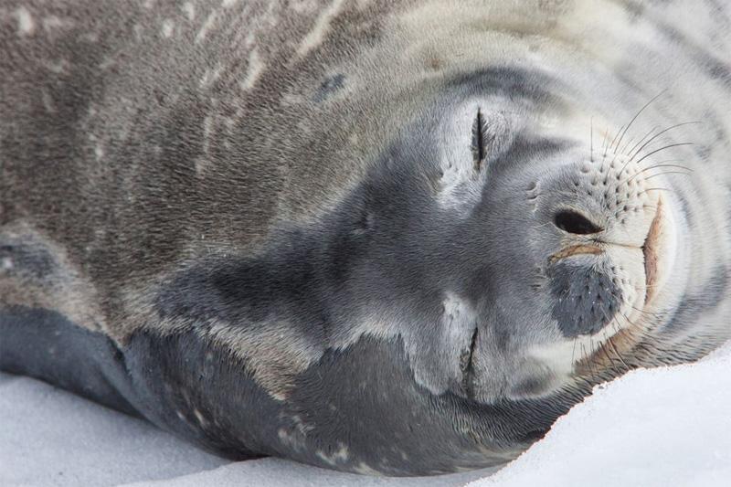 כלב ים חוטף תנומה באנטרקטיקה, צילום: Elizabeth Gottwald/ yourshot.nationalgeographic.com