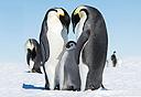 משפחת פינגווינים, צילום: Christopher Michel, Flickr