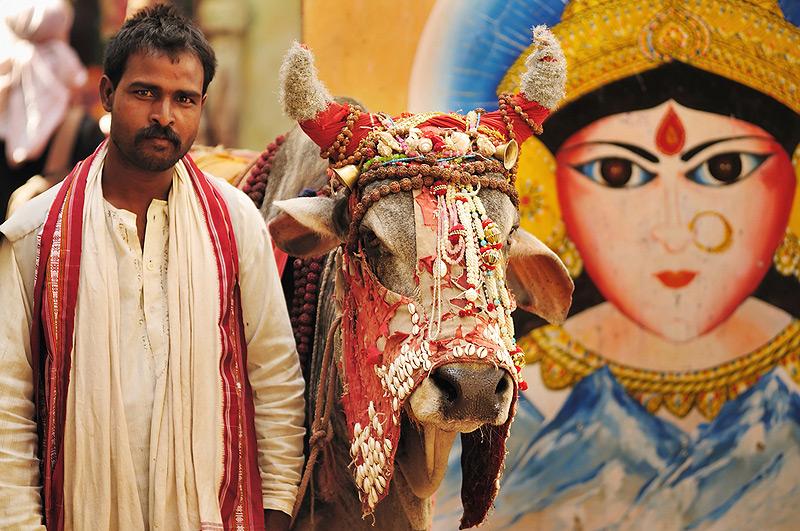 הפרה. נחשבת לקדושה עבור רבים מההודים, צילום: שאטרסטוק