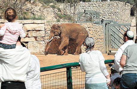"""פיל בגן החיות התנכ""""י. מעקב התנהגותי לבחינת השלכות הבנייה"""
