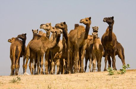 Camels. Photo: Shutterstock