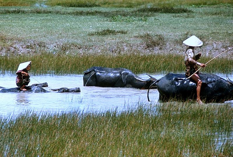 ילדי הכפרים בויאטנם רכובים על תאו מים, צילום: Flickr / manhhai
