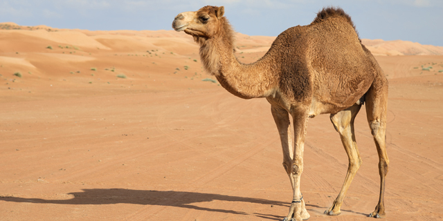 Solar-powered transmitters to warn Israeli drivers of camels on the road