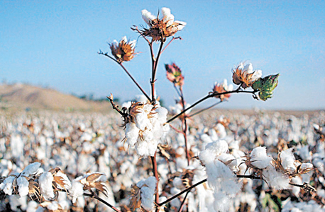 Cotton. Photo: Bloomberg