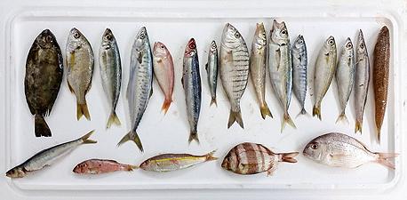 דגים נחשבים לבריאים, אך צריכה שלהם פוגעת מאוד בסביבה, צילום: תומי הרפז