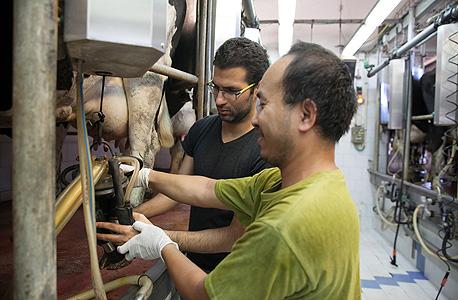 """כתב """"כלכליסט"""" עמרי מילמן עוזר לחלוב את הפרות. זיכרונות מבית הספר החקלאי בנהלל, צילום: אוראל כהן"""