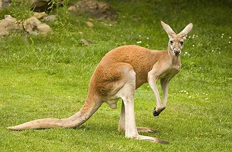 A kangaroo. Photo: Funtime.ge