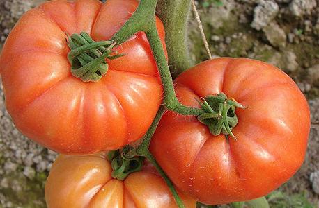 עגבנייה עם עוקץ (גבעול השומר על הטריות). היבואנים דורשים לאפשר להם לייבא עגבנית המחוברות לגבעול