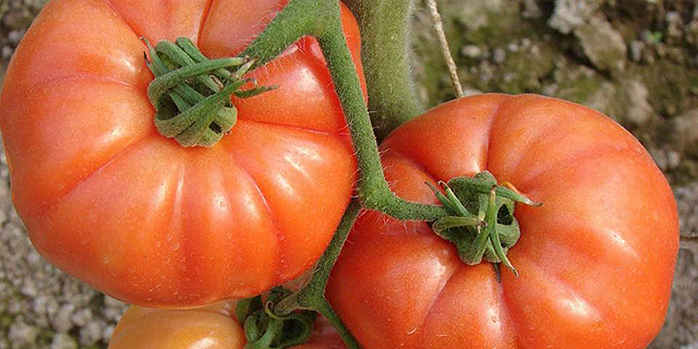תרגיל עוקץ: הקלות היבוא לא מספקות את יבואני העגבניות