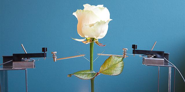 ורד הסייבורג שבא מן הכפור, צילום: cnet.com
