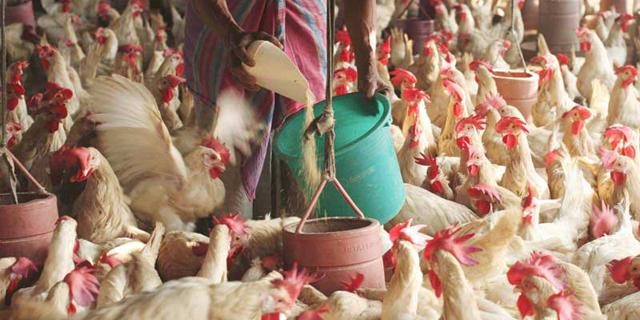 רוצים לוודא שהמזון שלכם אורגני? בידקו שהתרנגולת נחה בלילה במשך 8 שעות