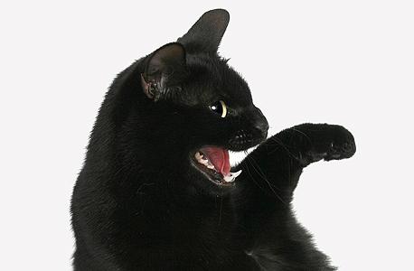 זה חתול? זה פנתר?