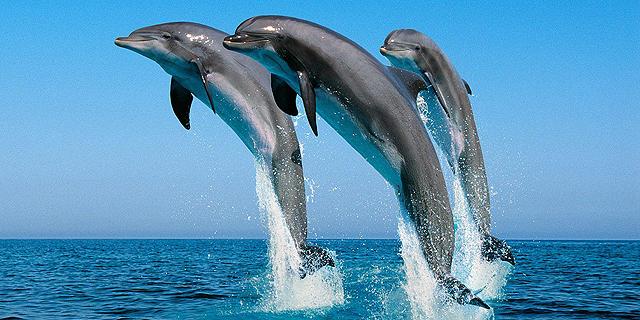 צבא רוסיה פרסם מכרז לקניית 5 דולפינים ב-25 אלף דולר, למה ישמשו?