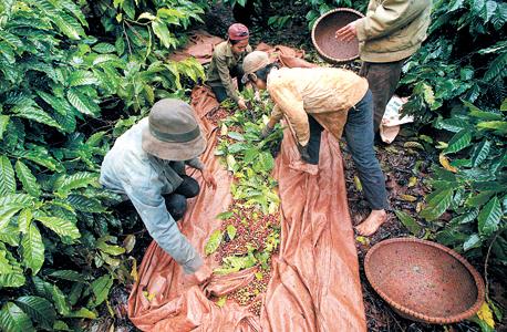 קטיף קפה בווייטנאם, צילום: בלומברג