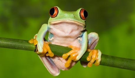 """צפרדע העצים. """"היא קופאת בחורף ומפשירה באביב, ובכל הפשרה היא מקבלת סוכרת. חשבתי, אולי יש כאן משהו שיסביר סוכרת נעורים, שנפוצה בעיקר במדינות הקרות בצפון אירופה"""""""
