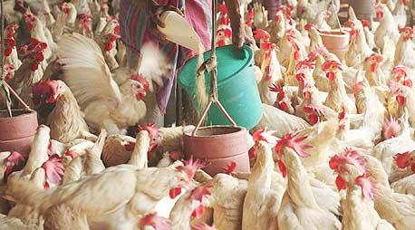 לול תרנגולים (ארכיון), צילום: אי פי אי