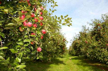 קלבדוס עושים מסיידר תפוחים על פי נוסחה סודית