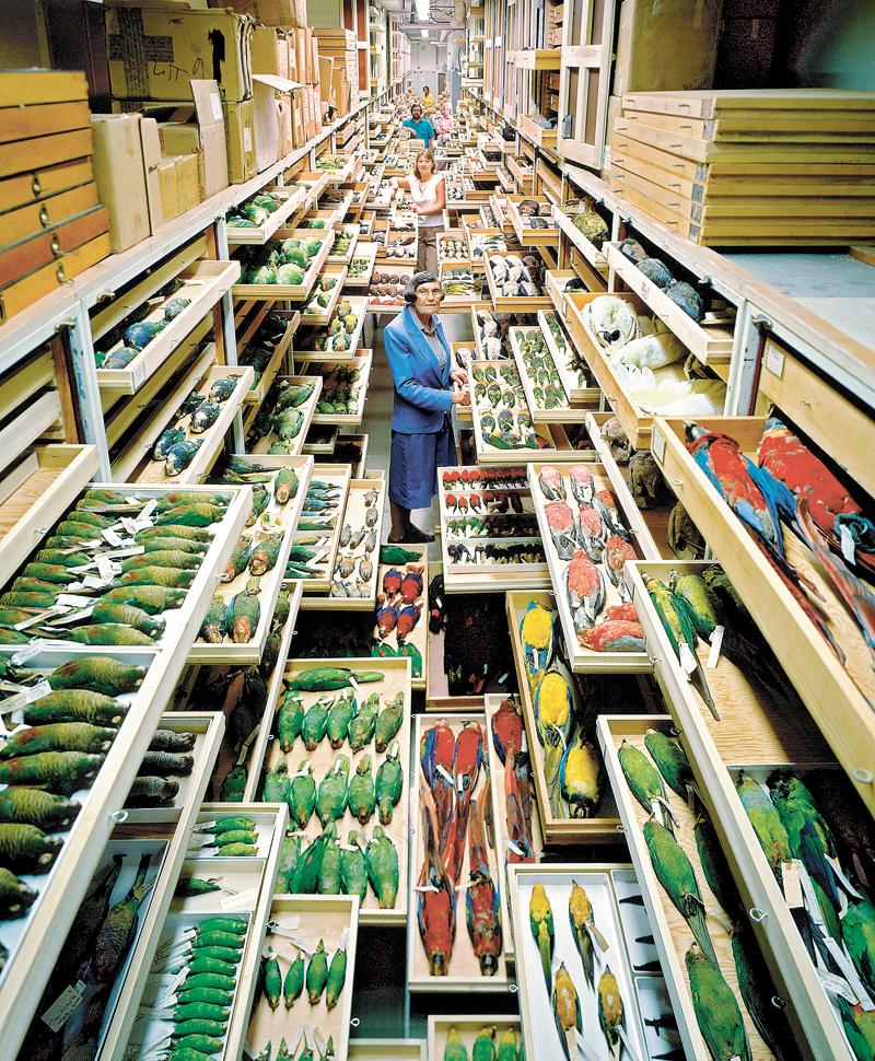 ציפורים ומומחים לזיהוי נוצות באוסף המחלקה לבעלי חוליות, צילום: Chip Clark