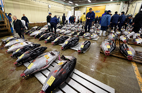 דגי טונה למכירה בשוק של טוקיו, יפן. זן בסכנת הכחדה