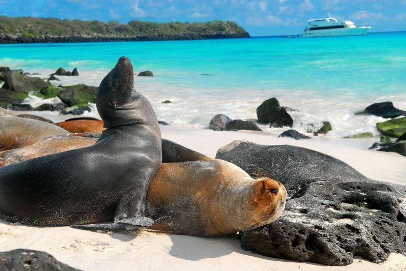 איי גלאפגוס. גם כלבי הים בסכנת הכחדה בשל שינויי מזג האוויר