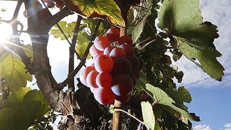 Grapevines (illustration). Photo: Reuters