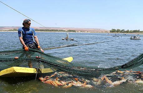 בבריכות ניר דוד. 2,000 עובדים, 27 אלף דונם בריכות, כ־16 אלף טונות דגים בשנה, אבל פילה האמנון הסיני זול במיוחד, צילום: עמית שעל