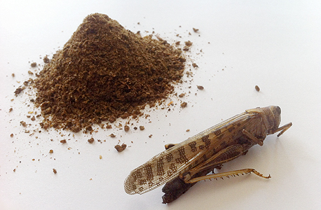 Grasshopper and grasshopper powder. Photo: Hargol FoodTech