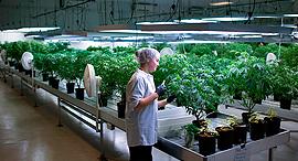 מעבדה לגידול קנביס רפואי מריחואנה , צילום: בלומברג
