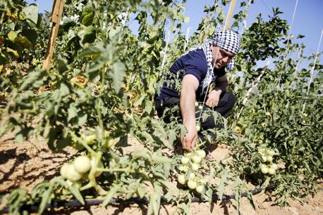 חקלאי פלסטיני מגדל עגבניות באזור חברון. הסחורה איכותית וזולה