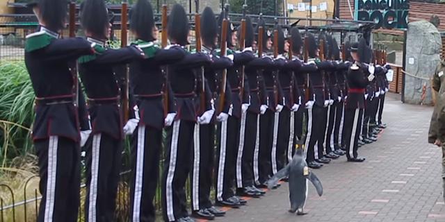 לקבלת הפינגווין המשמר המלכותי יעבור לדום