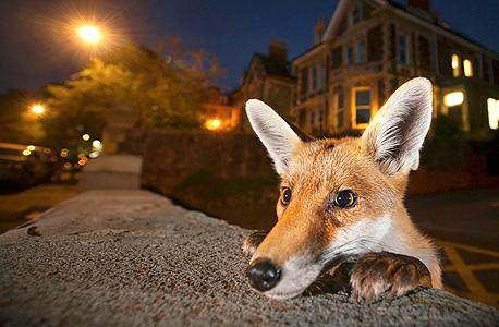 שועל תחרות צילומי טבע 2016 מוזיאון הטבע, צילום: Sam Hobson