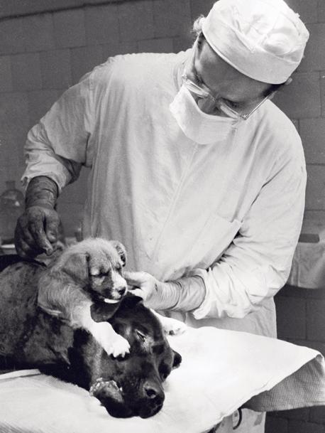 פרופ' ולדימיר דמיחוב בוחן כלב שהושתל לו ראש נוסף בשנות החמישים. ההשתלה הראשונה בוצעה כבר ב־1908 על ידי רופא אמריקאי