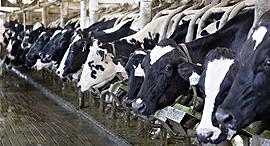 רפת פרה פרות, צילום: בלומברג